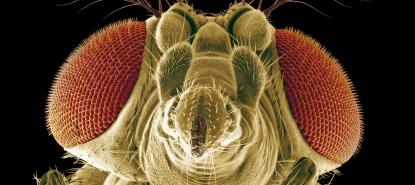 Tête de drosophile (MEB)